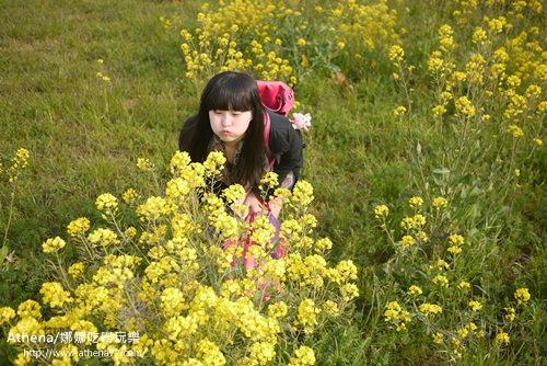 韓國 ▌濟州島自由行 : 濟州島油菜花特輯(제주 유채꽃)。黃油油的一片美滋滋 #韓國四輯
